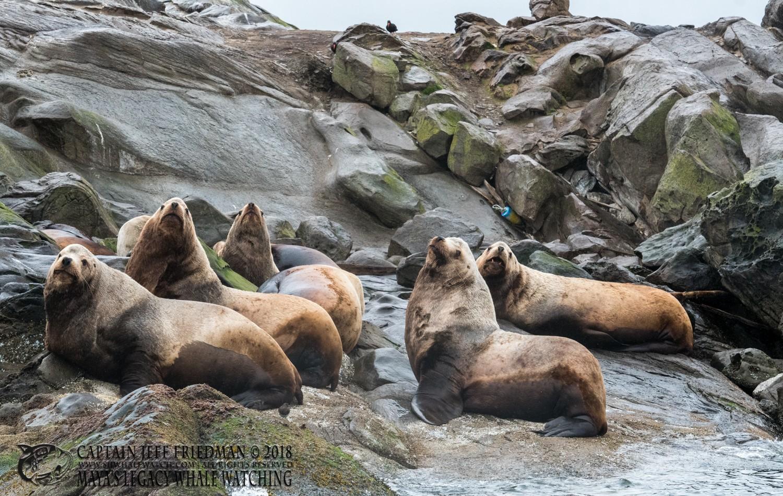 Adult Steller sea lions