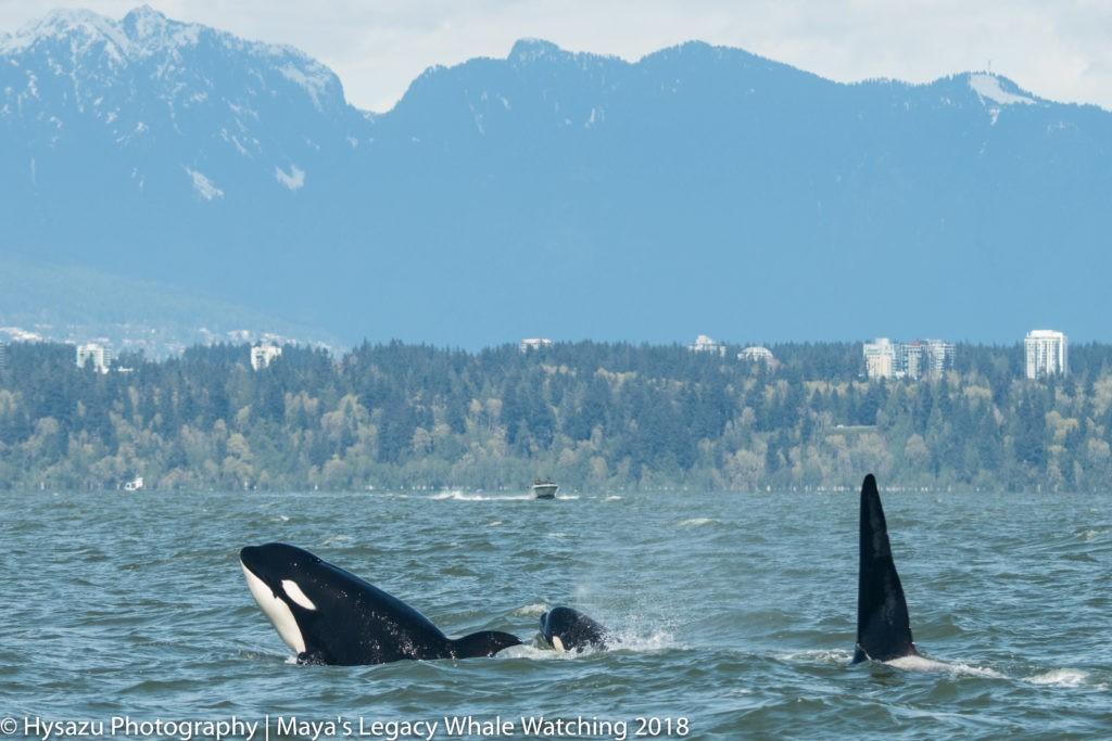 Orcas near Vancouver BC