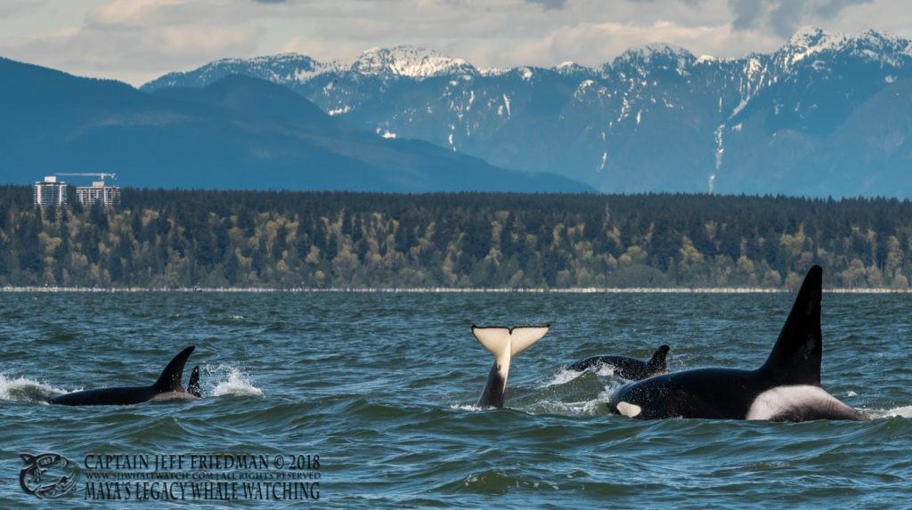 Bigg's orcas near Vancouver, BC
